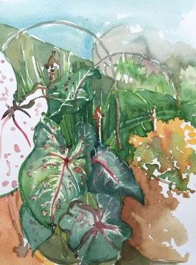 Caladium, a garden favorite